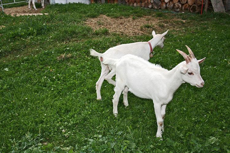 Klettergerüst Ziegen : Jonnen hof in schlinig urlaub auf dem bauernhof ✿✿✿ im vinschgau